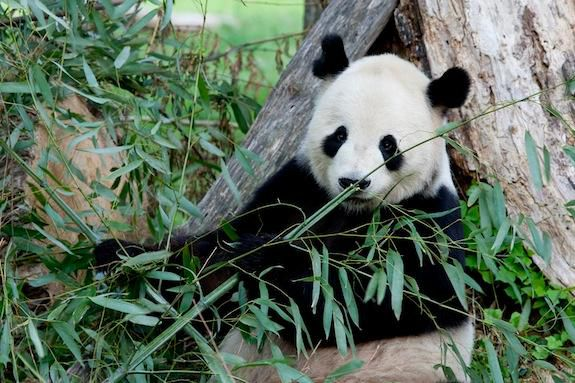 The zoo feeds Tian Tian up to 100 pounds of bamboo each day.