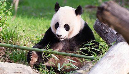 To Transport Frozen Panda Semen From China, Zoo Officials Went All the Way