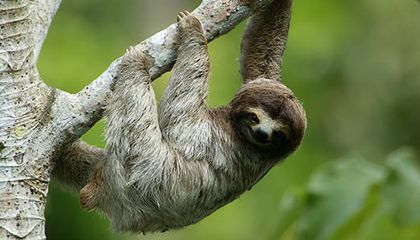 Three toed sloth in Panama