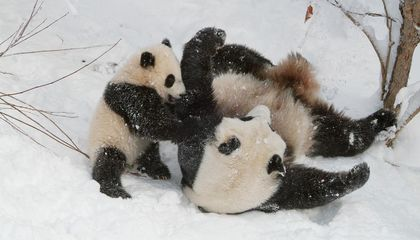 Demystifying the Love Lives of Pandas