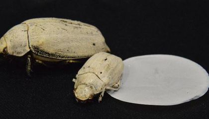 Scientists Create a Super-White Coating, with Help from a Super-White Beetle