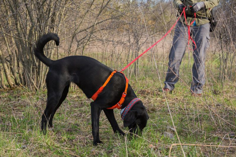 C-K9 Betty White, a black Labrador retriever, sniffs the ground while training to detect bumble bee nests