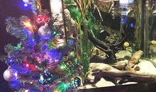 This Electric Eel Is Shocking Around the Christmas Tree