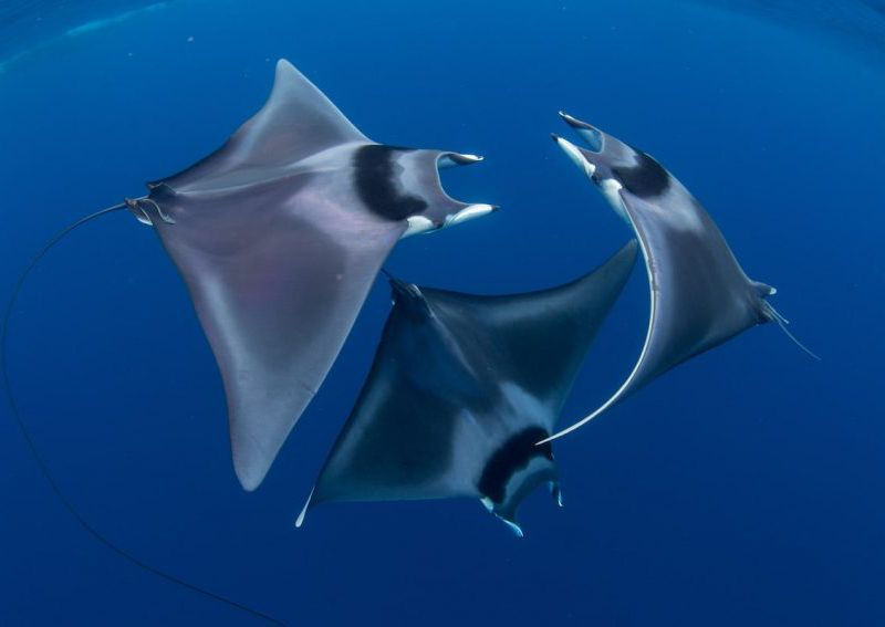 Ocean-Art-Underwater-Photo-Competition-Marine-Life-Behavior-Duncan-Murrell-Courting-devil-ray-ballet-850x567.jpg