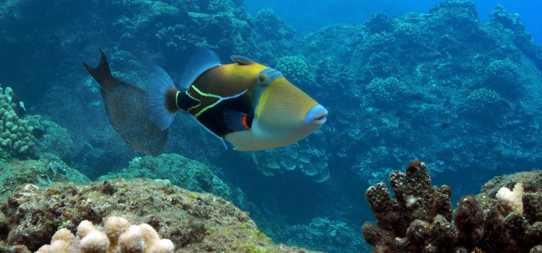 Colorful Triggerfish