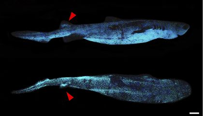 Nearly Six-Foot-Long Glowing Shark Discovered in Deep Sea Off New Zealand