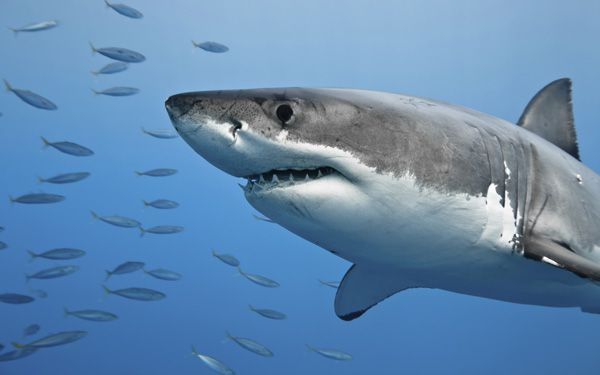 Great white shark becomes Twitter star