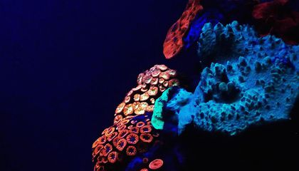 Deep-Water Corals Glow for Their Lives