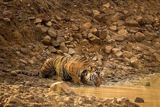 conservation tigers essay Faqs:ques : what is the strategy adopted for tiger conservation in project tiger ans : broadly, the strategy involves exclusive tiger agenda in the core/critical tiger habitat, inclusive people-wildlife agenda in the outer buffer, besides fostering the latter agenda in the corridors.
