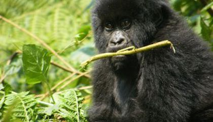 Humans Pass on Deadly Infections to Endangered Mountain Gorillas