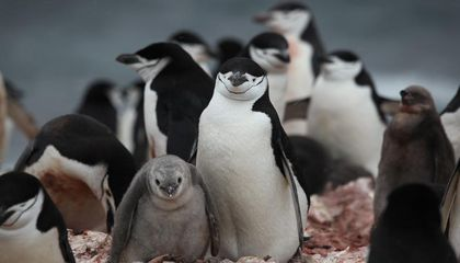 Preliminary Census Documents Antarctica's Chinstrap Penguins in Sharp Decline