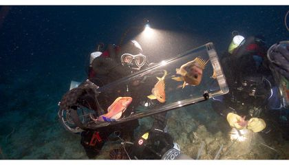 """New Gadget Brings Fish Up From the Ocean's """"Twilight Zone"""""""