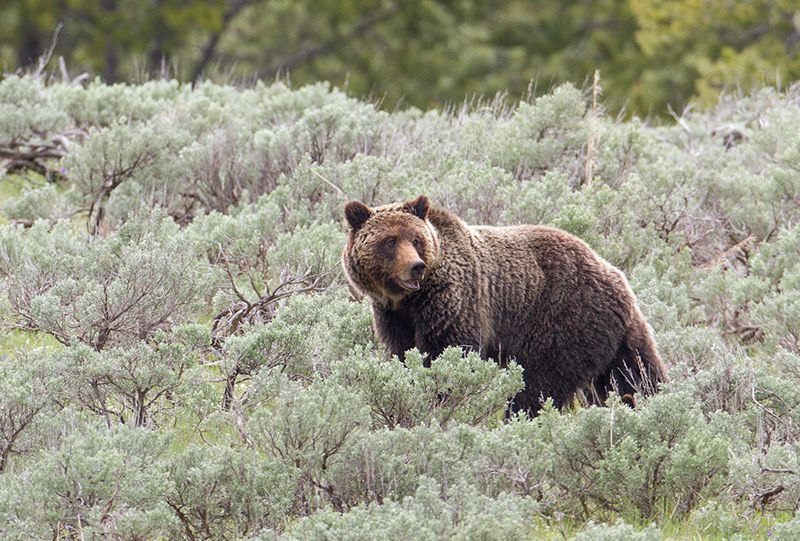 Yellowstone Grizzly to Be Removed From Endangered Species