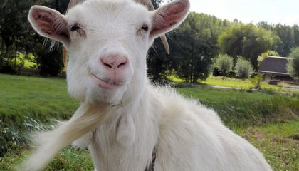 Never Underestimate a Goat; It's Not As Stupid As It Looks