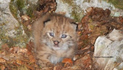 Endangered Balkan Lynx Kitten Photographed for the First Time in a Decade
