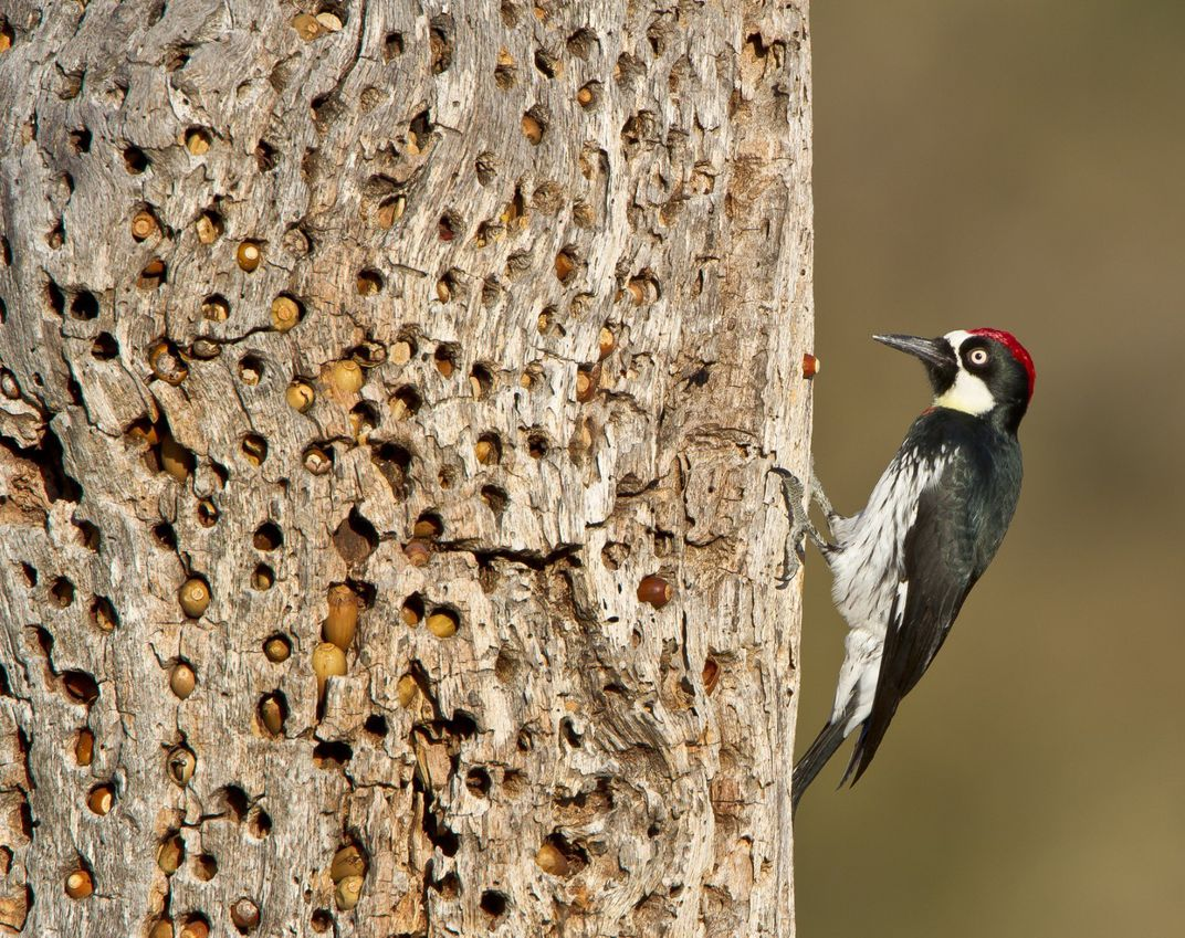 Red, white and black woodpecker on a tree trunk filled with acorns