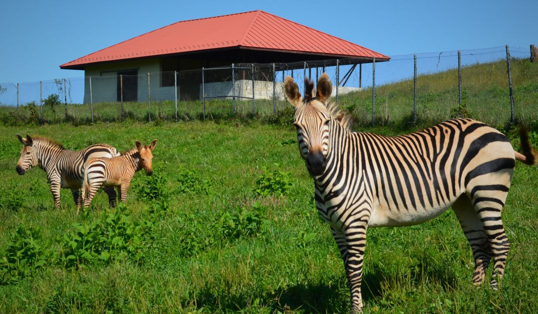 Three Hartmann's mountain zebras, including a 3-month-old colt, stand in a grassy field outside a barn at the Smithsonian Conservation Biology Institute.