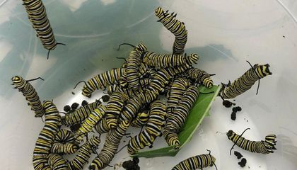 Monarch Caterpillars Butt Heads Over Milkweed