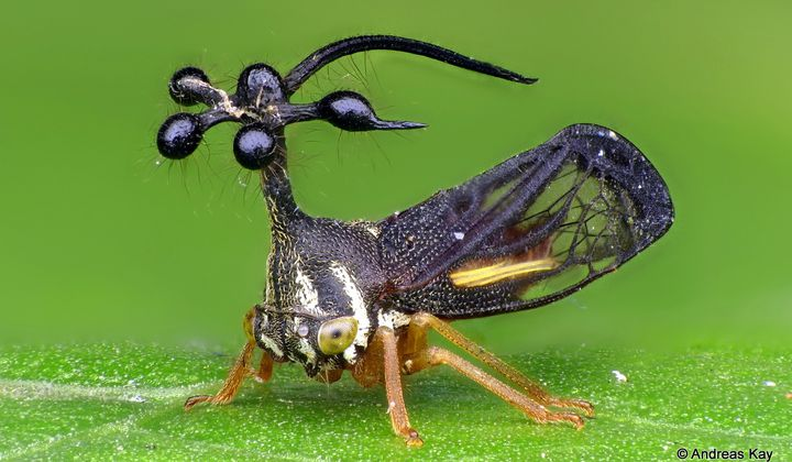 Treehoppers' Weird Helmets Use Wing Genes to Grow