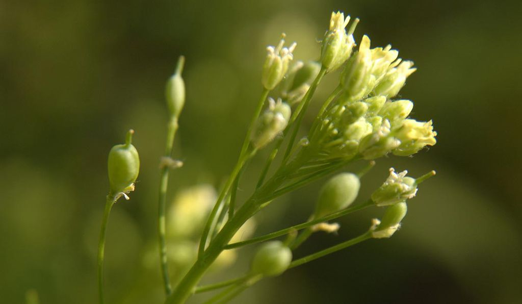 <em>Camelina sativa</em> and other seed oil crops could provide fish oil to aqua farms of the future.