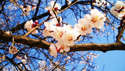 37425cherry-blossoms963.jpg
