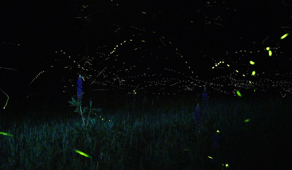 Fireflies speak in their own languages of light, each species using a distinct code.