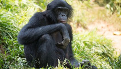 San Diego Zoo's Great Apes Receive First Experimental Covid-19 Vaccine for Animals