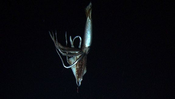 A living giant squid, captured for the first time on film.