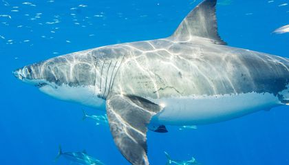 The Gulf of California May Be an Overlooked Home for Great White Sharks