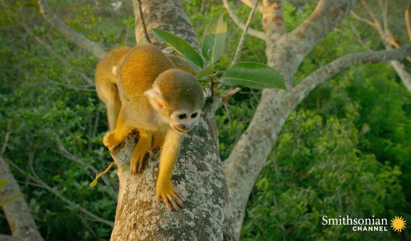 Preview thumbnail for video'This Human Feature Gives Squirrel Monkeys Their Precise Grip