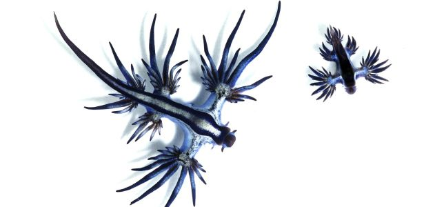 The Glaucus atlanticus sea slug, or blue dragon, feeds on toxins from much larger species.