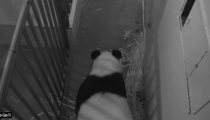 It's a Boy! The Panda Cub Was Fathered by the National Zoo's Tian Tian (Video)