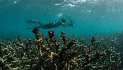 Repeat Bleaching Destroys Massive Swaths of the Great Barrier Reef