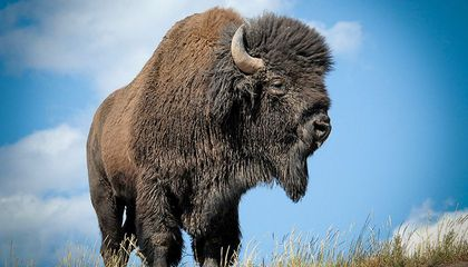 Meet Freddy, the Runaway Bison Who Inspired a Choral Arrangement