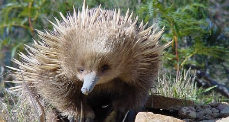 A young echidna in Coles Bay, Australia