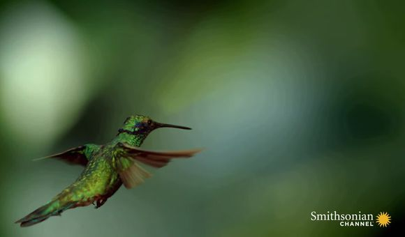 Preview thumbnail for video'Stunning slo-mo footage of hummingbirds hovering in air.