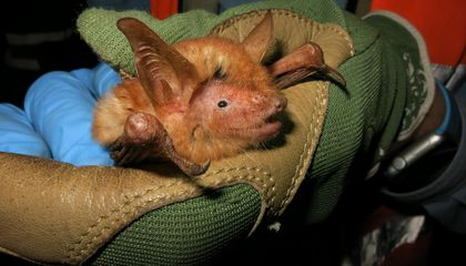 Newly Discovered Bat Species Has Halloween Colors