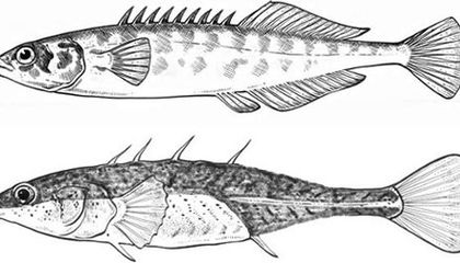 What Robot Fish Can Tell Us About Parallel Evolution