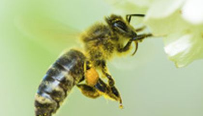 Image: What can we do to save the bees?