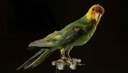 The Extinction of This U.S. Parrot Was Quick and Driven by Humans