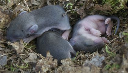 Baby Mice Can Inherit Fear of Certain Smells From Their Parents
