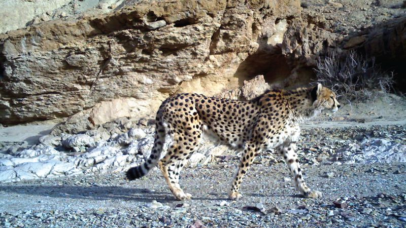 If Iran doesn't pick up the speed on cheetah conservation, this cat spotted in the country's Kavir National Park may be one of the last of its kind.