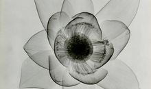 Check Out These X-Rays of Flowers From the 1930s