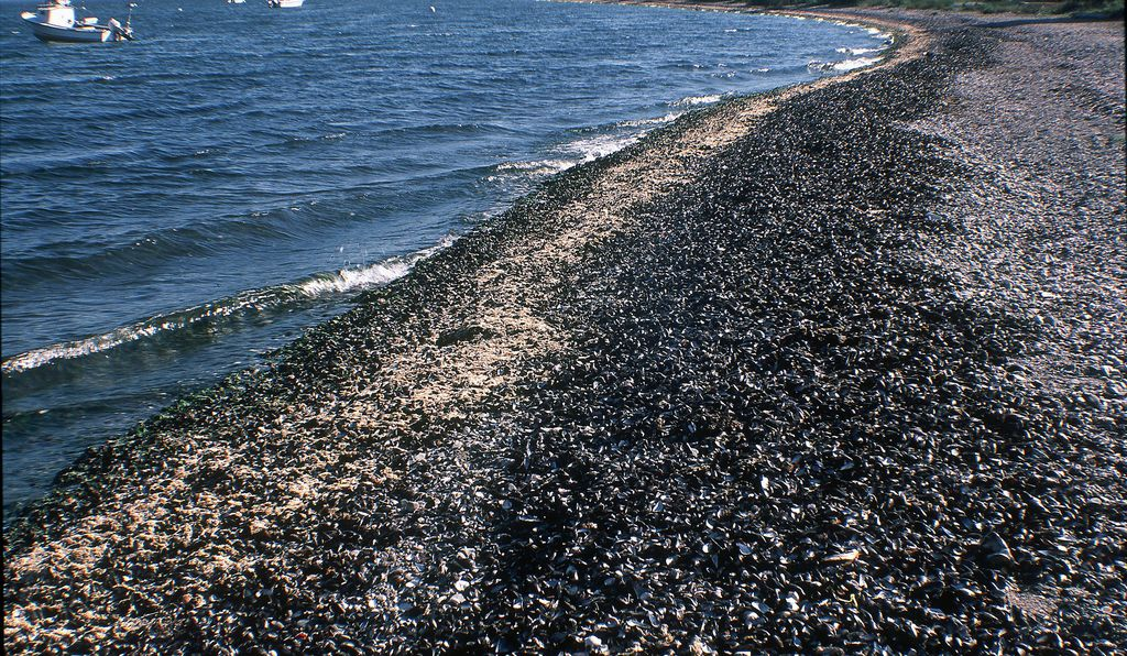 Piles of mussels (<em>Mytilus edulis</em>) washed onto a beach after a dead zone event in Narragansett Bay, Rhode Island.