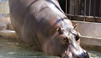 Happy Trails, Zoo's Hippo Heads West