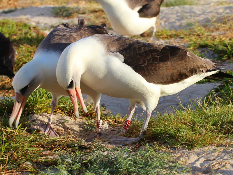 The Oldest Known Seabird Is About To Lay Another Egg Smart News