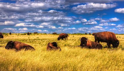 Iconic American Buffalo are Actually Part Cow