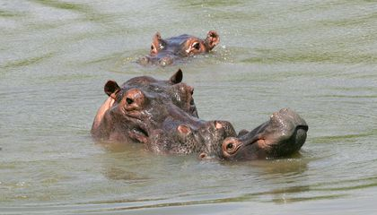 Blame Drug Lord Pablo Escobar for Colombia's Hippopotamus Problem