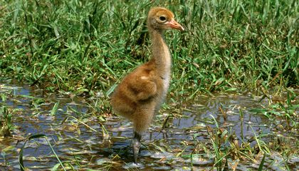 Image: The hopeful mid-century conservation story of the (still endangered) whooping crane