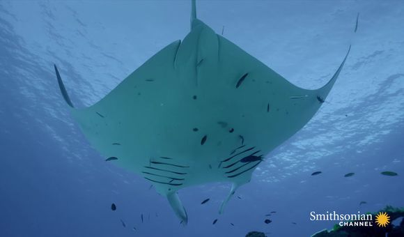 Preview thumbnail for video'Manta Rays Use Tiny Fish to Help Them Stay Clean